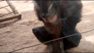 Monkey Pleasures Himself