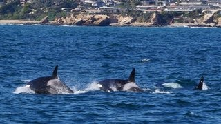 rare transient killer whales encounter dana point whale watching boat
