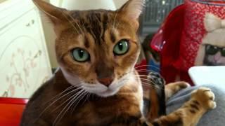 ベンガル猫マオちゃんと私の今朝の会話