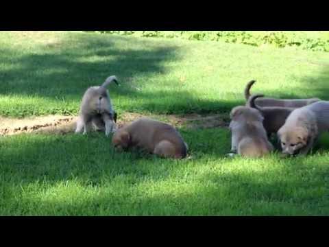 Anatolian Shepherd Mix Puppies for Sale