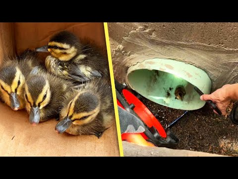 The Morning Rush - Firefighter's genius use of Youtube saves ducklings