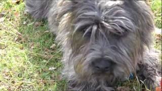 Pixel Et Terry Au Parc Bellerive! Cairn Terrier Et Wauzer!