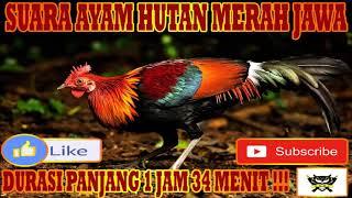 Download Mp3 Suara Ayam Hutan Merah Jawa Jantan  Ayam Alas, Kasintu, Red Jungle Fowl  Durasi