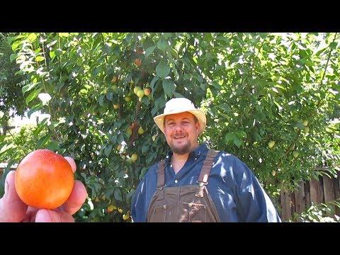 An Abundant Fruit Bearing Dwarf Tree You Should Consider Growing!