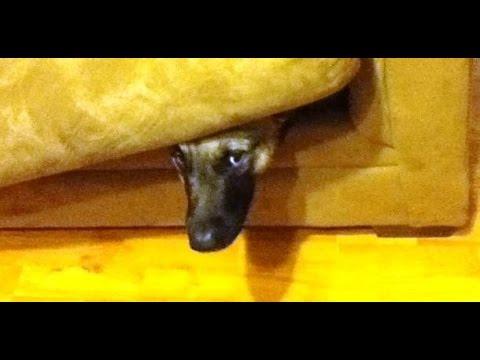 Dogs playing hide and seek. German Shepherd hunting
