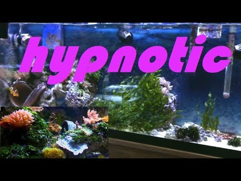 RELAX & Watch 2 Clownfish Broodstock REEFS! -its just the end of a small world, afterall. 05.10.18