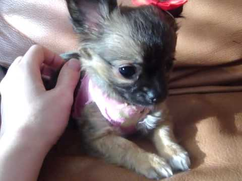 Tiny Chihuahua Puppy For Sale Long Hair Youtube