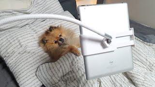 누워서 유튜브 보는 강아지 | 아이패드에 푹 빠진 포메…