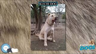 Kuchi dog  Everything Dog Breeds