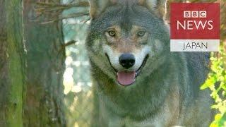 欧州はオオカミを保護動物にしているが、繁殖が進んだため家畜を襲う事...