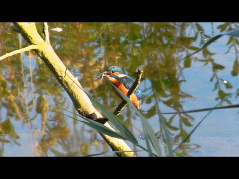 Kingfisher - fishing expert  (including slow motion eating fish)