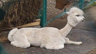 Не животное, а фанат: к чемпионату мира двух альпака постригли по-футбольному