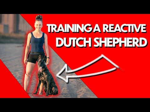 My RECIPE for training this REACTIVE DOG! (Dutch Shepherd Transformation)