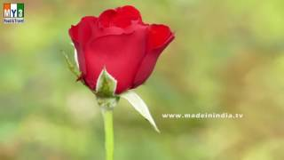 Rose Cultivation in India | How to Grow Roses | Planting, Growing, and Caring for Rose Plants