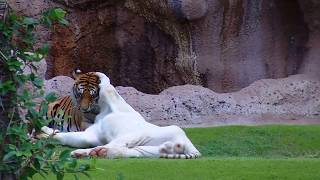 Tiger making love!
