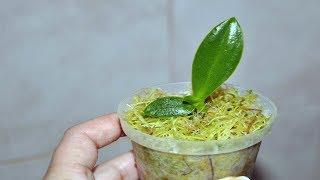 Размножение орхидей в пластиковой бутылке без цитокининовой пасты