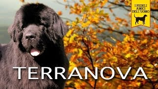 TERRANOVA, NEWFOUNDLAND trailer documentario (razza canina)