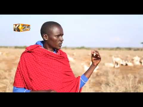 Maasai improvise traditional method of controlling breeding in sheep, goats