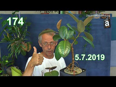 der-gummibaum-wie-warum-wächst-er-wo-schneiden-und-co