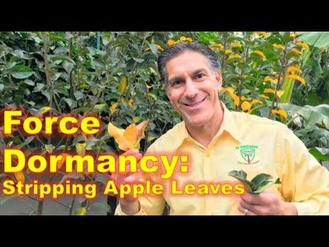 APPLE TREE PRUNING | FORCE DORMANCY BY REMOVING LEAVES | IVO DORMANT SPRAY & BRUSH-ON