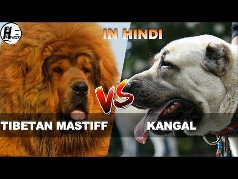 Tibetan Mastiff VS Kangal | Hindi | COMPARISON | DOG VS DOG | HINGLISH FACTS