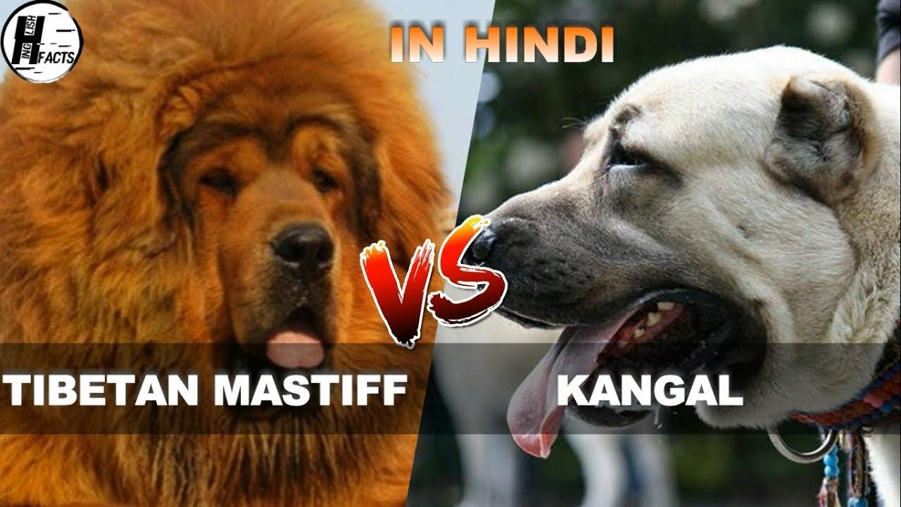 Tibetan Mastiff Vs Kangal Hindi Comparison Dog Vs