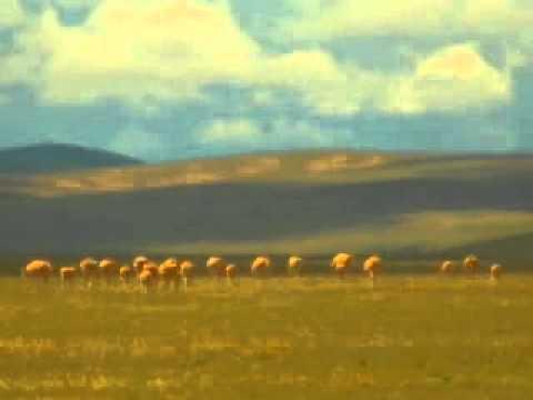 Tours-TV.com: Tibetan antelope