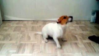 Самая умная собака Джек Рассел терьер