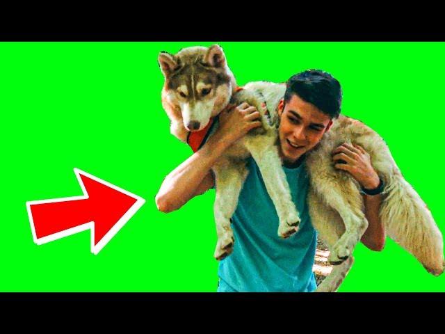 У МЕНЯ ЕСТЬ РАБ!! (Хаски Бублик) Говорящая собака Mister Booble