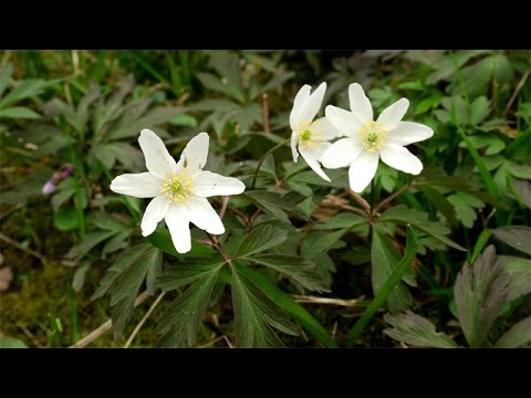 Anemone nemorosa / Buschwindröschen / Wood Anemone