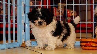 Havanese, Puppies For Sale, In, Richmond, Virginia, West, Va, Newport, County, Alexandria, 19breeder