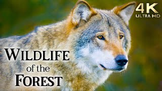 4K Wildlife Of The Forest TV Background - Birds Chirping Relaxing Background Music Wild Animals