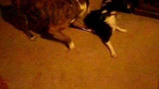 Pit Bull Attacks Boston Terrier