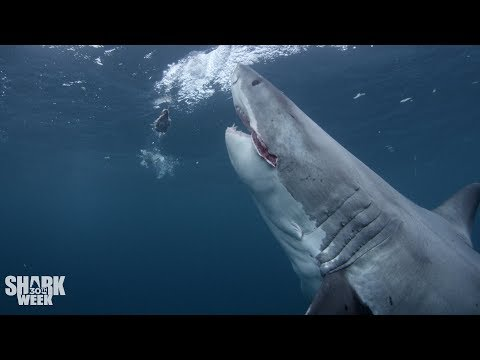 The Top 30 Sharks of Shark Week: Part Three