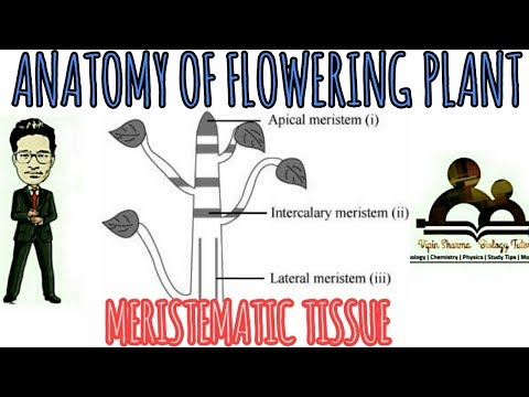Anatomy of flowering plants/details about meristematic tissue for NEET AIIMS.