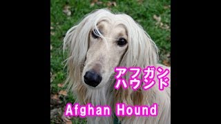 Afghan Hound アフガン・ハウンド アフガニスタン原産 Originated in Af...