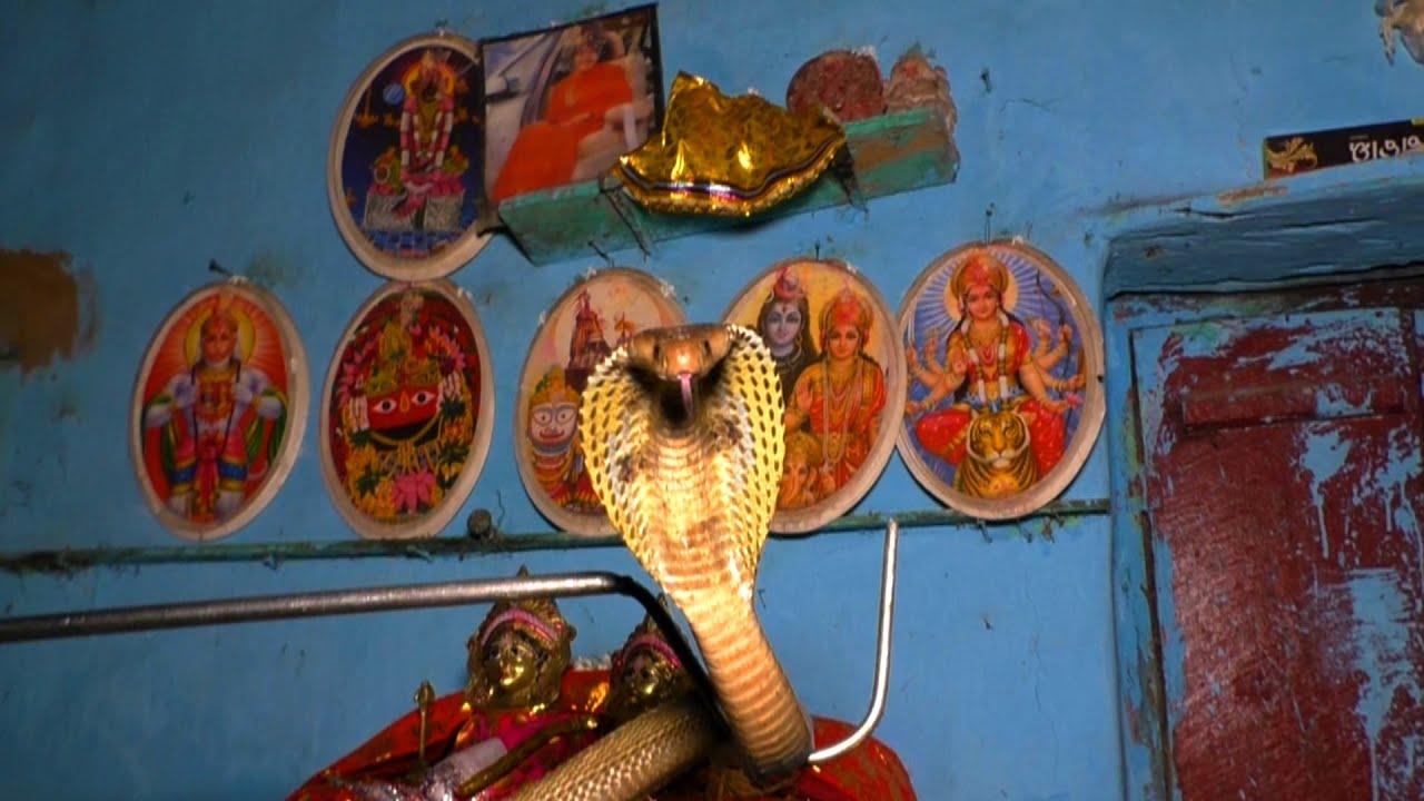 अगर घर में छुपा हो नाग तो बिल्कुल भी नजरअंदाज ना करे, देखिए इस परिवार को।Venomous Cobra at home.