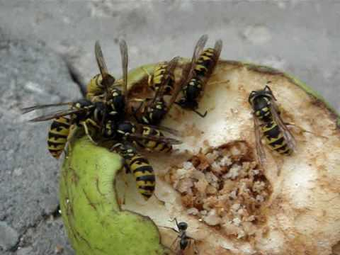 Hungry Ant Vs Hungrier Wasps Yellow Jacket Attack
