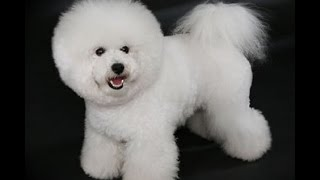 House Breaking Your Bichon Frise