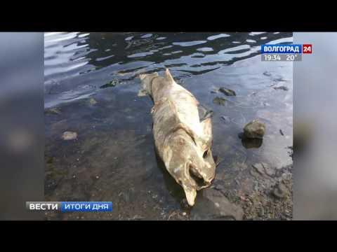 В Ворошиловском районе на берег Волги выбросило белугу
