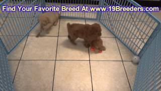 Golden Doodle, Puppies, For, Sale, In, Detroit, Michigan, Mi, Waverly, Holt, Inkster, Wyandotte, For