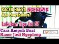 Cara Mengatasi Kacer Ngeriwik Agar Ngeplong  Mp3 - Mp4 Download