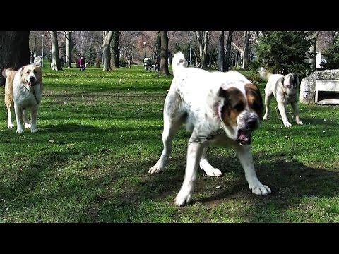 Alabai Central Asian Shepherd Dog / Алабай Среднеазиатская Овчарка / Центрально Азиатская Овчарка