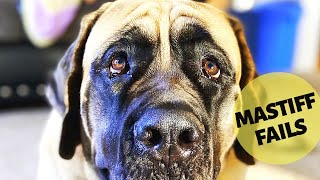English Mastiff Fails Part 1