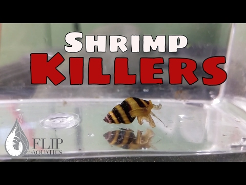 Killer Assassin Snails - Shrimp Keeping Myths