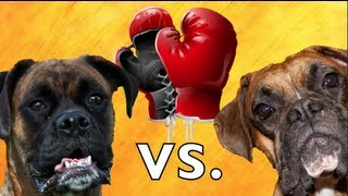 Brock The Boxer: Real Dog Boxing Match!