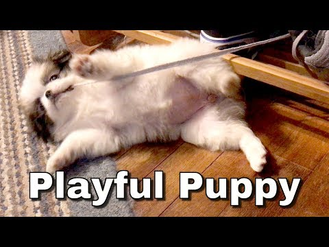 PUPPY Playing! Favorite New Toy  Japanese Chin at 8 weeks