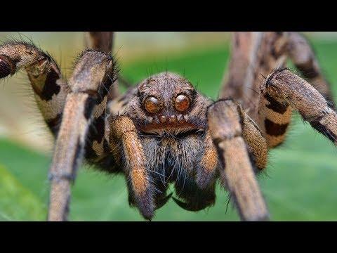 Самые опасные пауки. Ядовитые пауки - YouTube