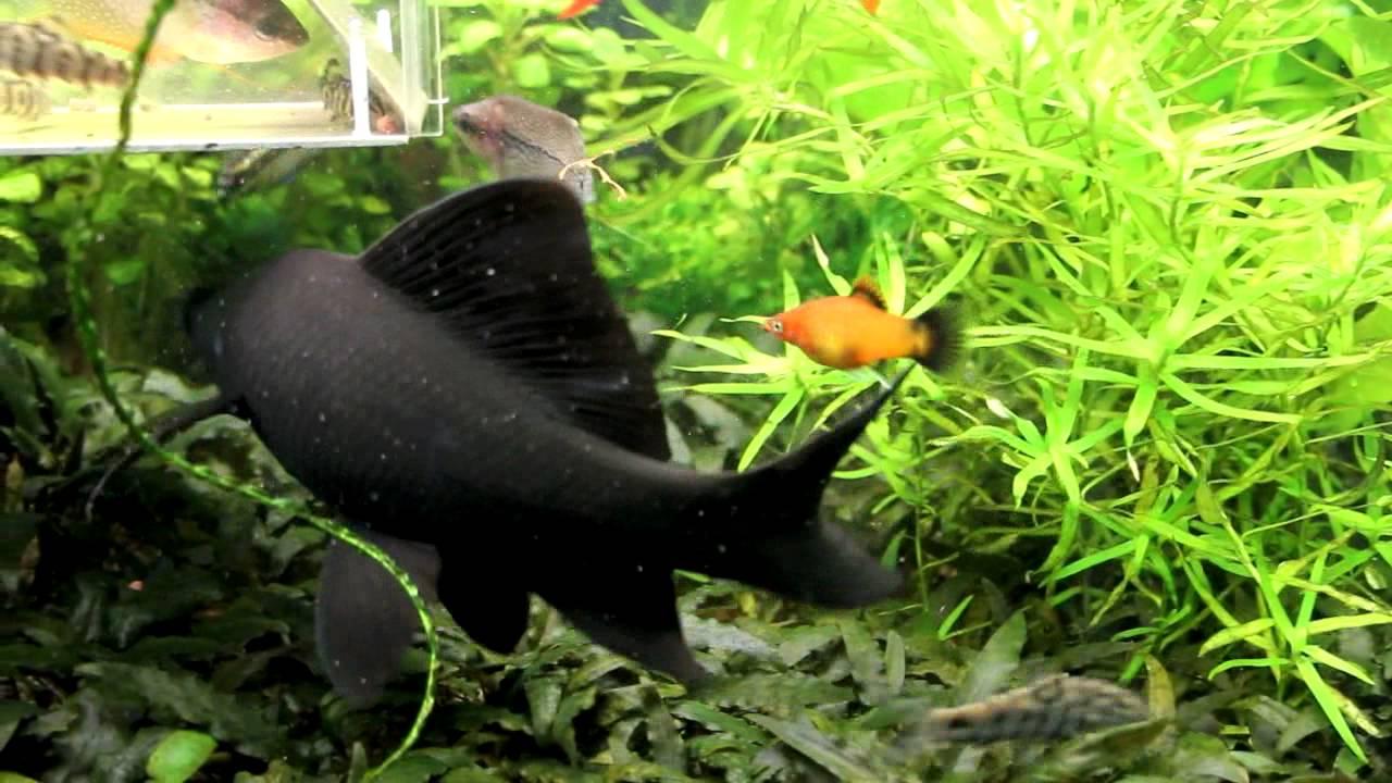 Black Shark Labeo Chrysophekadion Youtube