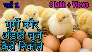 मुर्गी बिना अंडोसे चूजे कैसे निकाले!How to remove chicken without eggs